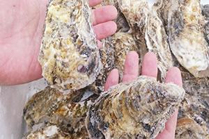 宇和島産 生食冷凍 殻付き牡蠣 サイズ